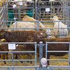 Louth Livestock Market Breeding cattle and store sale<br /> Cows and calves <br /> Picture Tim Scrivener 07850 303986<br /> ….covering agriculture in the UK….