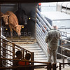 Louth Livestock Market Breeding cattle and store sale<br /> Store cattle being unloaded into the market<br /> Picture Tim Scrivener 07850 303986<br /> ….covering agriculture in the UK….