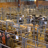 Louth Livestock Market Breeding cattle and store sale<br /> Breeding cows <br /> Picture Tim Scrivener 07850 303986<br /> ….covering agriculture in the UK….