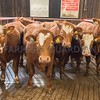 Simmental x cattle from R A Cadzow, Inland Pastures