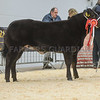 The heifer and overall champion, a Limousin cross from G. A. Williams of Nant y Geifr, Llanidloes sold for £3,800.