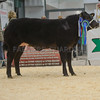 The reserve champion heifer and reserve overall champion, a British Blue from J. M. and A. M. Lewis of Pentwyn, Cwrtycadno, Carmarthen sold for £4,000.