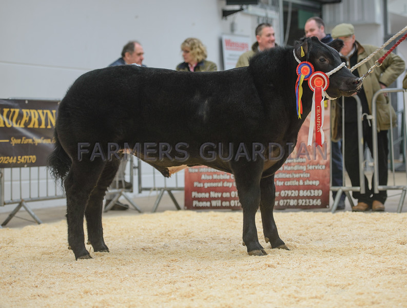 The steer champion, a British Blue steer from J. M. and A. M. Lewis of Pentwyn, Cwrtycadno, Carmarthen sold for £4,000.