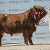 "Stirling May Bull Sales<br /> Highland Cattle Champion ""Bryden 1st of Culfoich"" from J & M McConachie, Culfoichmore, Advie, Granton-on- Spey was top price for the breed at 5,000gns."