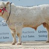 "Stirling May Bull Sales<br /> Charolais Champion<br /> ""Elgin Lochness"" from R.A Milne, Kennies Hillock,Lhanbryde, Elgin."