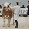 "Stirling May Bull Sales, Simmental Judge Andrew Clarke, Tynan, Co Armagh <br /> seen looking over ""Islavale Guardian"""