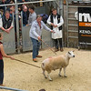 The top price of the sale at 2000 gns, a Beltex X Texel ram.