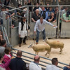 The top price of the females at £620, a pair of 3/4 Beltex X 1/4 Texel.