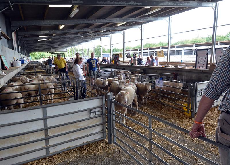 Dorset H & P Sheep Worcester 8.7.17