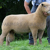 Worcester Sheep Sale<br /> Lot 74 sold for 780gns<br /> Picture Tim Scrivener 07850 303986<br /> ….covering agriculture in the UK….