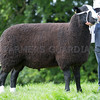 Worcester Sheep Sale<br /> Lot 227 Overall Champion Dulas Extra Strong owned by Mr J & Mrs C Evans sold for 920gns<br /> Picture Tim Scrivener 07850 303986<br /> ….covering agriculture in the UK….