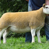 Worcester Sheep Sale<br /> Lot 33 Owned by Miss N Cartwright sold for 1200gns<br /> Picture Tim Scrivener 07850 303986<br /> ….covering agriculture in the UK….