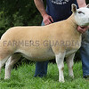 Worcester Sheep Sale<br /> Lot 42 owned by Mr E W Quick sold for 2600gns<br /> Picture Tim Scrivener 07850 303986<br /> ….covering agriculture in the UK….