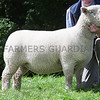 Worcester Sheep Sale<br /> Lot 124 Overall Champion sold for 1500gns<br /> Picture Tim Scrivener 07850 303986<br /> ….covering agriculture in the UK….