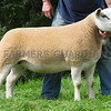 Worcester Sheep Sale<br /> Lot 40 Owned by Mr E W Quick sold for 3300gns<br /> Picture Tim Scrivener 07850 303986<br /> ….covering agriculture in the UK….