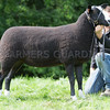Worcester Sheep Sale<br /> Lot 274 Castle Hill Dottie owned by Mr S J Inns sold for 1500gns<br /> Picture Tim Scrivener 07850 303986<br /> ….covering agriculture in the UK….