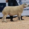 The reserve female champion from J. L. McMillan of Newton Stewart, Wigtownshire sold for 1,000gns.