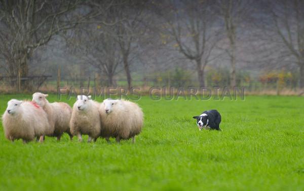 Ruthin Sheepdog sale 14/11/2015