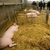 pigs at sedgemoor
