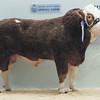 """Islavale Eastwood"" Simmental Bull from W. S Stronach, Berryleys Farm, Grange, Keith."