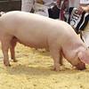 """Supreme Interbreed Pig Champion, home bred 4 months old Pedigree Welsh gilt """" Gwynys Jean 1810 """" from Huw & Ela Roberts Ffridd, Llithfaen, Pwllheli, Gwynedd."""