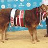 "Baby Beef Champion, home bred Limousin x "" Jeanie "" born 22-3-1015 from John Hollingsworth Pandy Farm, Denbigh Road, Afonwen, Mold, Denbighshire."
