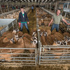 The best pen of 20 or more Coloured Welsh Mules from G. and A. Powell of Glanmiheli, Kerry, Newtown, Powys with Gearing Powell and son Lloyd.