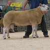 The champion Texel, Canllefaes Vogue <br /> W.T. Davies and Co