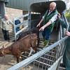 Unloading calves.