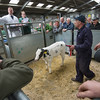 The champion calf from David Milner of Claughton, Lancashire, a British Blue cross selling for £388.