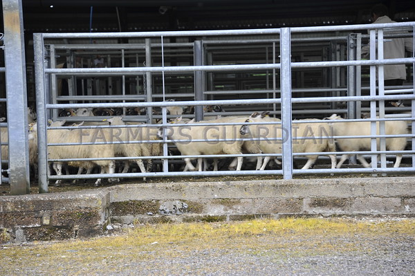 Dalmally market lamb sale August 2016