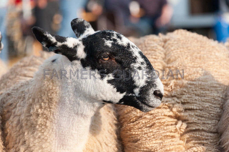 Hawes Gimmer Lamb sale - Tuesday.
