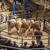 Sale of beef breeding and store cattle.<br /> Lot 50,51,52,53.