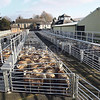 Ref Theresa Photo Arvid Parry Jones. ( Pic 3 ).<br /> Brightwells Refurbished Rhayader Livestock Market, Mid Wales. Sale of 1500 fat lambs. <br /> New sheep pens recently installed.