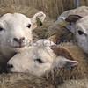 Ref Theresa Photo Arvid Parry Jones. ( Pic 21 ).<br /> Brightwells Refurbished Rhayader Livestock Market, Mid Wales. Sale of 1500 fat lambs. <br /> Fat lambs.