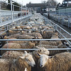 Ref Theresa Photo Arvid Parry Jones. ( Pic 13 ).<br /> Brightwells Refurbished Rhayader Livestock Market, Mid Wales. Sale of 1500 fat lambs. <br /> Pens of fat lambs.