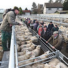 Ref Theresa Photo Arvid Parry Jones. ( Pic 9 ).<br /> Brightwells Refurbished Rhayader Livestock Market, Mid Wales. Sale of 1500 fat lambs. <br /> Auctioneer, Chris Davies with dealers and farmers.