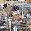 Ref Theresa Photo Arvid Parry Jones. ( Pic 24 ).<br /> Brightwells Refurbished Rhayader Livestock Market, Mid Wales. Sale of 1500 fat lambs. <br /> Auctioneer Chris Davies with market staff loading lambs after the sales.