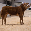 A Limousin cross higher from D. H. and H, and I. D. Owen of Rhyd y Defaid, Trefor, Holyhead, Anglesey sold for £4,100.