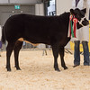The supreme champion, a Limousin cross heifer from D. H. Morgan of Nantgwynne, Llanddeusant, Carmarthenshire sold for £7,900.
