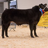 The reserve steer champion, a British Blue cross from J. M. and A. M. Lewis of Pentwyn, Cwrtycadno, Llanwrda, Carmarthen sold for £4,300.