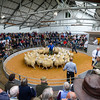 The champion pen of Scotch half bred mules from G.D. Pate and sons, Stobshiels Mains sold for £155per head.