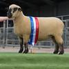 Female champion. A shearling ewe.