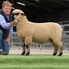 Sire reference champion, a ram lamb.