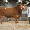 The male champion and overall show champion, Knowlhill Dominator 2 from Mr. A. E. J. and Mrs. F. J. Claridge of Middle Claydon, Buckinghamshire sold for 3,700 gns.