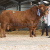 The reserve male champion, Langham's Kubla 14 from A. and C. Farms of Langham, Oakham, Rutland. Not sold.