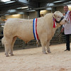 The champion, Wissington Jason from Mrs. J. Rix sold for 3,200 gns.
