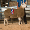 The Border Leicester champion, a shrea;ing ram from E. A. Stokeld of Acklam sold for 1,000 gns.