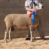 Lot 710. 1,100 gns.<br /> The reserve male Bluefaced Leicester champion from D. P . May of Llanymynech, Powys.