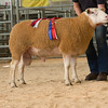 The champion Berrichon, a yearling ram from Mick Williams, Ross on Wye.